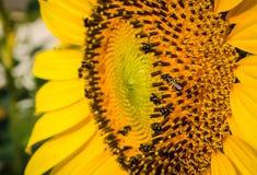 Abeja en flor del sol Fotografía de archivo