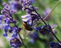 Abeja en flor púrpura Imagen de archivo