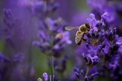 Abeja en flor púrpura Fotografía de archivo libre de regalías