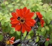 Abeja en flor roja imagen de archivo libre de regalías