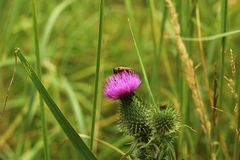 Abeja en flor rosada Fotos de archivo libres de regalías