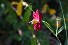 Abeja en flor rosada Fotos de archivo