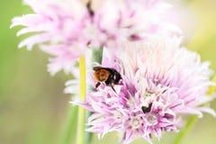 Abeja en flor rosada Fotografía de archivo