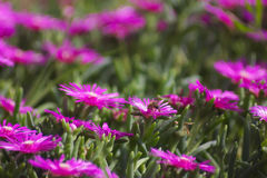 Abeja en flores Foto de archivo libre de regalías