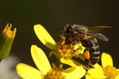 Abeja en flores amarillas Imagenes de archivo