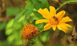 Abeja en flores amarillas Imágenes de archivo libres de regalías