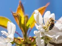 Abeja en flores blancas apacibles del cerezo - cerasus del prunus Imágenes de archivo libres de regalías