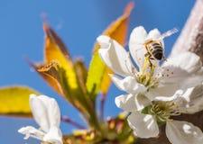 Abeja en flores blancas apacibles del cerezo - cerasus del prunus Foto de archivo