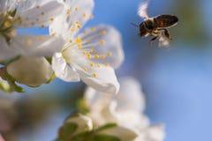 Abeja en flores blancas apacibles del cerezo - cerasus del prunus Imagen de archivo libre de regalías