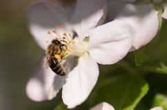 Abeja en flores blancas apacibles del cerezo - cerasus del prunus Imagen de archivo