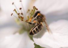 Abeja en flores blancas apacibles del cerezo - cerasus del prunus Imagenes de archivo