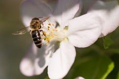 Abeja en flores blancas apacibles del cerezo - cerasus del prunus Fotos de archivo libres de regalías