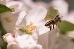 Abeja en flores blancas apacibles del manzano - pumila del malus Imagen de archivo