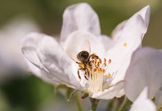 Abeja en flores blancas apacibles del manzano - pumila del malus Imagen de archivo libre de regalías