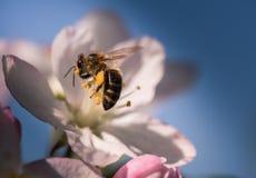Abeja en flores blancas apacibles del manzano - pumila del malus Imágenes de archivo libres de regalías