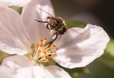Abeja en flores blancas apacibles del manzano - pumila del malus Imagenes de archivo