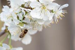 Abeja en flores de cerezo Fondo floral del resorte Imagen de archivo