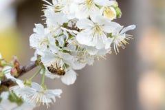 Abeja en flores de cerezo Fondo floral del resorte Fotografía de archivo libre de regalías