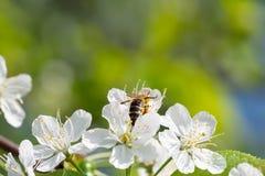 Abeja en flores de cerezo Fondo floral del resorte Imágenes de archivo libres de regalías