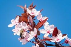 Abeja en flores de cerezo rosadas Fondo floral del resorte Foto de archivo