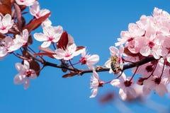 Abeja en flores de cerezo rosadas Fondo floral del resorte Fotos de archivo