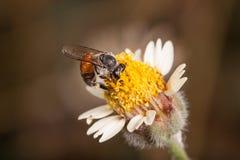Abeja en flores de los procumbens de un tridax las pequeñas Fotografía de archivo