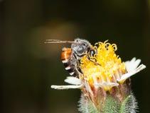 Abeja en flores de los procumbens de un tridax las pequeñas Foto de archivo