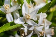 Abeja en flores de un árbol de mandarina Imagen de archivo libre de regalías
