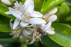Abeja en flores de un árbol de mandarina Fotografía de archivo