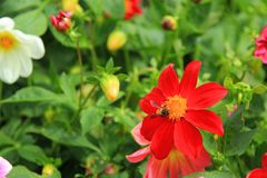 Abeja en flores rojas Foto de archivo libre de regalías
