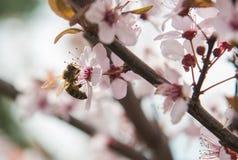 Abeja en flores rosadas apacibles del árbol de ciruelo Fotos de archivo