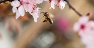 Abeja en flores rosadas apacibles del árbol de ciruelo Imagen de archivo libre de regalías