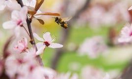 Abeja en flores rosadas apacibles del árbol de ciruelo Imagen de archivo