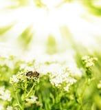 Abeja en flores y los rayos del sol Imagen de archivo