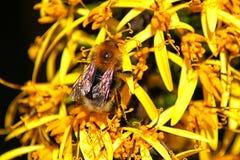 Abeja en flover amarillo Fotografía de archivo