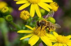 Abeja en flowe amarillo Foto de archivo