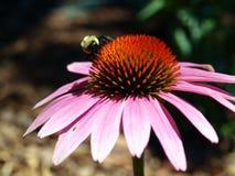 Abeja en flower3 Fotografía de archivo