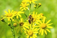 Abeja en groundsel amarillo de la primavera de las flores Imagen de archivo