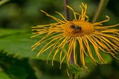 Abeja en helenio de la flor Foto de archivo libre de regalías
