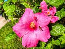 Abeja en hibiscos Fotos de archivo libres de regalías