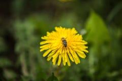 Abeja en hierba ascendente y verde amarilla del cierre del diente de león en el fondo Fotografía de archivo libre de regalías