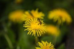 Abeja en hierba ascendente y verde amarilla del cierre del diente de león en el fondo Fotos de archivo