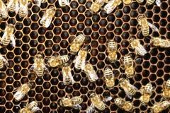 Abeja en honeycells Fotografía de archivo libre de regalías