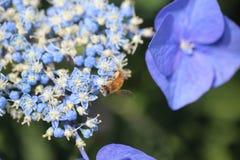 Abeja en hortensia Foto de archivo libre de regalías