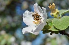 Abeja en inflorescencia de la manzana Imagen de archivo