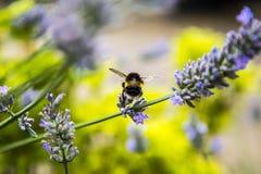 Abeja en jardín en el pequeño pueblo de Pott Shrigley, Cheshire, Inglaterra Fotografía de archivo
