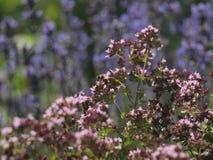 Abeja en jardín herbario Imagen de archivo libre de regalías