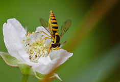 Abeja en la abeja que sorprende, abeja de la flor polinizada de la flor amarilla Foto de archivo
