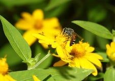 Abeja en la abeja que sorprende, abeja de la flor polinizada de la flor amarilla Fotografía de archivo