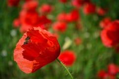 Abeja en la amapola Flor Fotografía de archivo libre de regalías